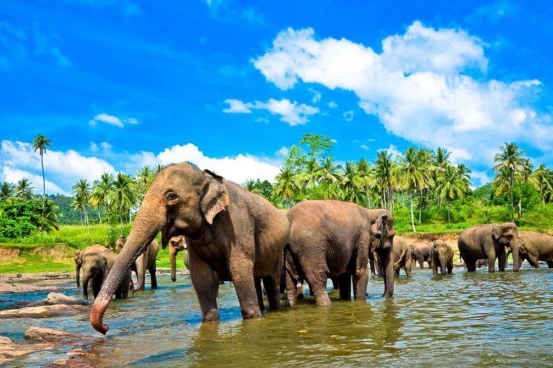 slony-shri-lanka