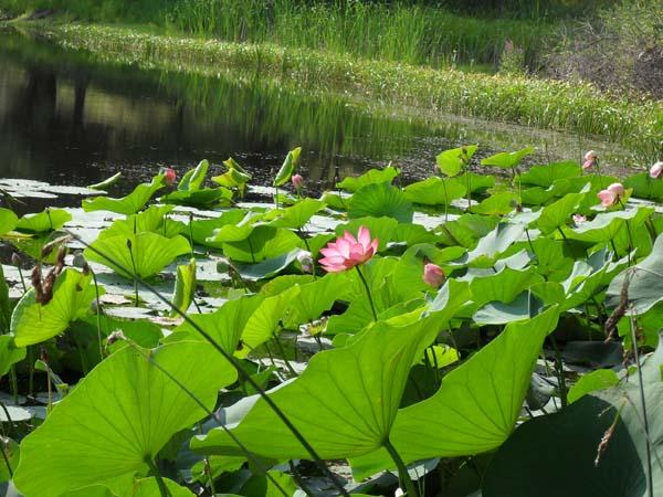 tsvetenie-lotosov